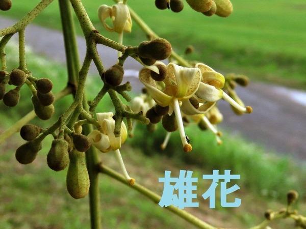 6アオギリ雄花