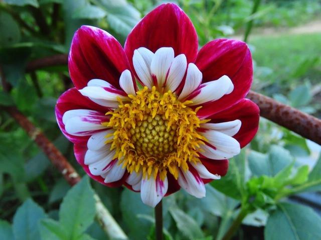 15畑の花ダリア