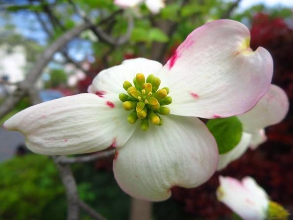 14ハナミズキの花