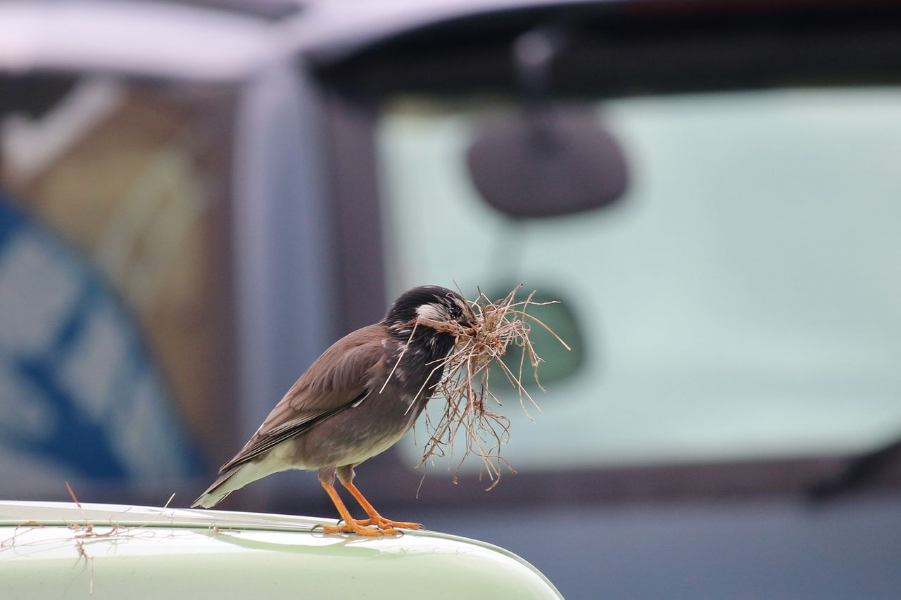 ムクドリが巣作り元をくわえ車の上に. IMG_7118