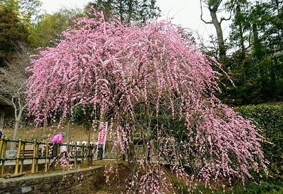 熱海梅園ピンク1