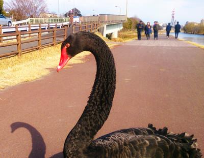 千波湖黒鳥1