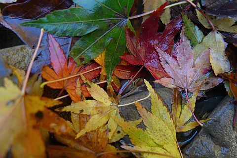4m Colored Leaves 2010(3) P1020101-2