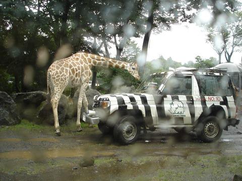 safari-6