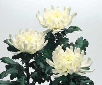 白い菊01