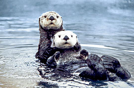 270px-Sea_otter_pair2