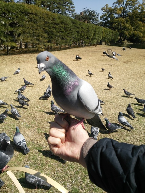 栗林公園鳩
