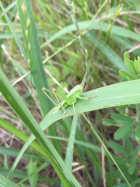 【尼崎で七十二候】第五十一候・蟋蟀在戸「武庫川河川敷にいたそれっぽい虫」