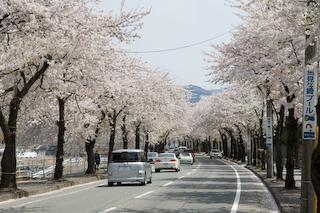 馬見ヶ崎川原の桜7