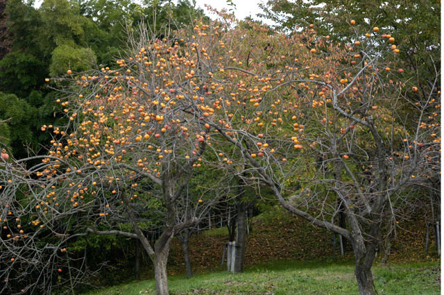 悠創の丘の柿の木