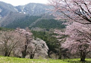2009大山桜2