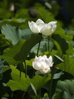 蓮の花_3