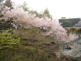 「新宿歴史博物館」の桜