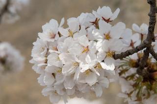 馬見ヶ崎川原の桜2
