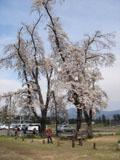 十二の桜_2