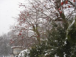 雪の中の柿