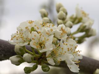 ゴールデンプラムの花