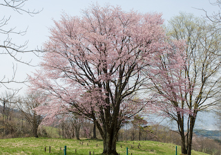 2009大山桜