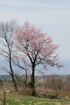 2009西蔵王大山桜3