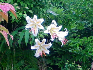 726ユリの花
