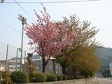 一中の山桜
