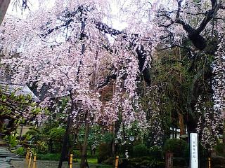 平清水の桜