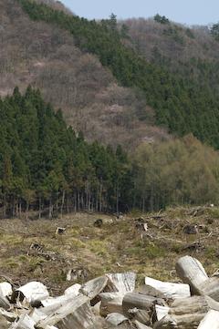 2009大山桜_切り株2