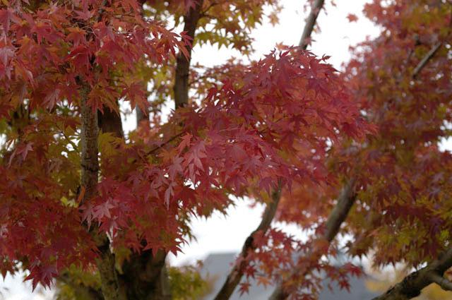 悠創の丘の紅葉