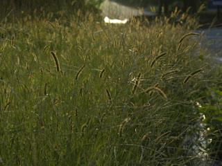 夕焼けに光る草