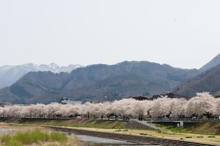 馬見ヶ崎川原の桜6