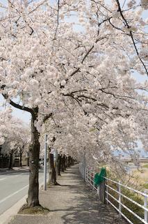馬見ヶ崎川原の桜5