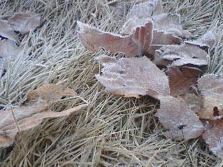 霜_落ち葉