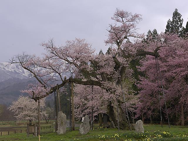 釜の越桜_1.jpg