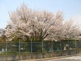 水道部管理地の桜