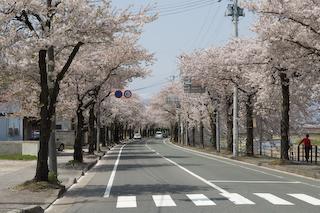 馬見ヶ崎川原の桜1