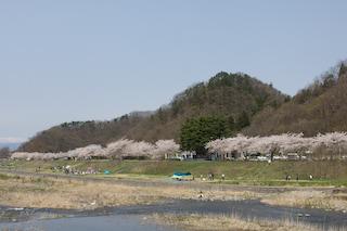 馬見ヶ崎川原の桜4