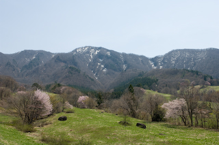 2009西蔵王大山桜4