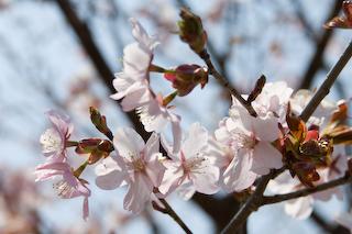 2009西蔵王大山桜UP