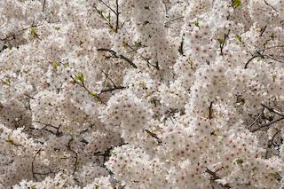 馬見ヶ崎川原の桜3