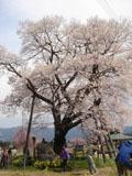 十二の桜_1
