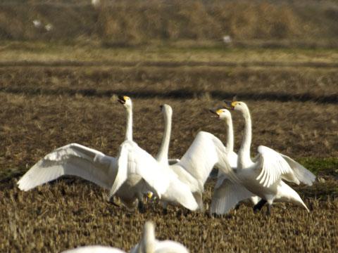 20070122白鳥