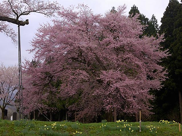 釜の越桜_隣の桜.jpg