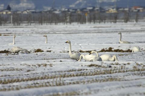 20070112白鳥2