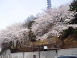 防衛省前の桜