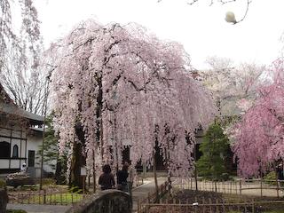 「光禅寺」枝垂桜