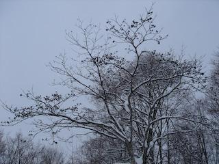 20080106弓張平スノーシュー_キハダの木