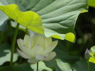 日傘をした蓮の花