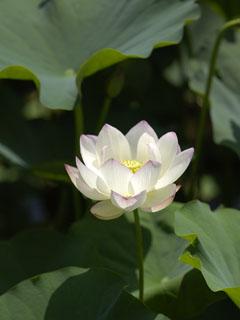 蓮の花_2