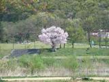 ジャバのそばの桜