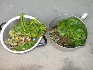 20100509山菜収穫